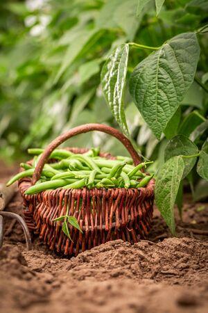 Closeup of raw green beans on the field Reklamní fotografie - 130115988