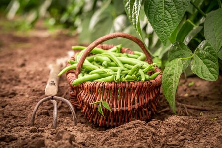 Closeup of fresh green beans on the field