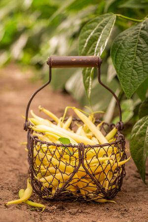 Fresh and raw yellow beans in a old basket Reklamní fotografie - 130115994