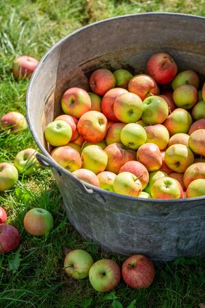 Sweet and ripe apples in sunny summer garden