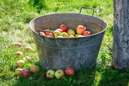 Ripe and sweet apples in sunny garden Reklamní fotografie