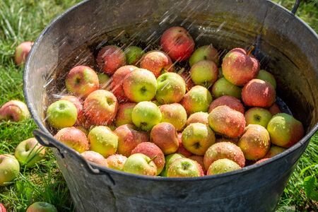 Closeup of fresh and healthy apples in sunny garden
