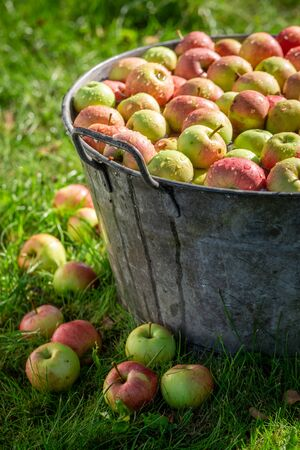 Fresh harvested and washed apples in sunny garden
