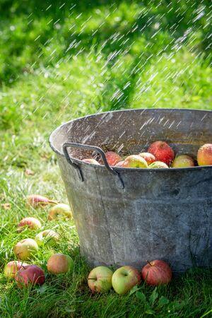 Fresh and healthy apples in old metal washtub in garden Reklamní fotografie