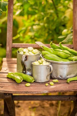 Freshly harvested broad beans in old greenhouse Banco de Imagens