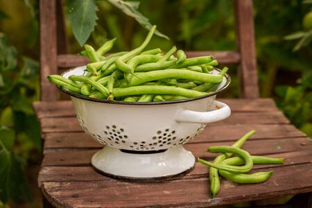 Closeup of green beans in a colander in greenhouse