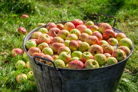 Ripe and sweet apples in summer sunny garden Reklamní fotografie