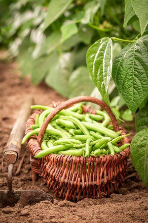 Closeup of fresh green beans in a old wicker basket Reklamní fotografie - 130116042
