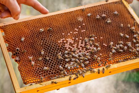 Frame full of honey with bees during harvest Banque d'images - 132234596