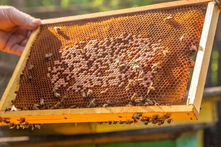 Person holding a frame full of honey with bees Reklamní fotografie