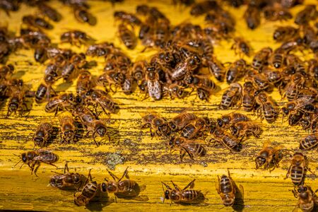 Closeup of bees enetre to beehive in sunny day, Poland