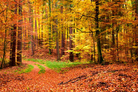 Gold and brown path in the forest at autumn, Poland
