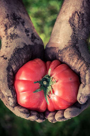 Dirty hands holding one tomato in garden