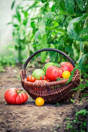 Fresh and tasty tomatoes in summer greenhouse 版權商用圖片