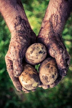 Dirty hands holding three potatoes in garden