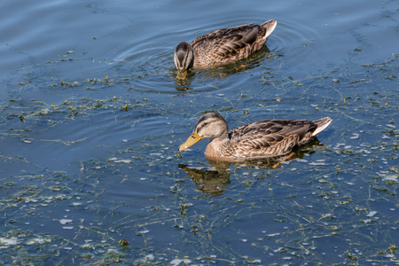 Two ducks swimming in calm water on a sunny day