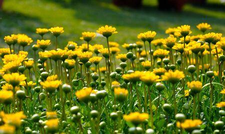 美しい黄色の花のベッド