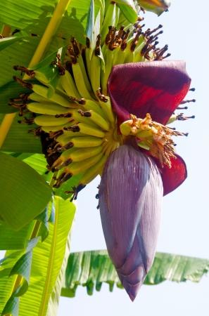 バナナの果実