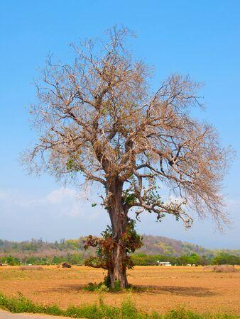 葉のない木