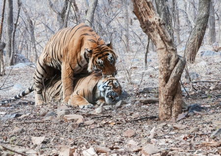 wild tiger in mating photo