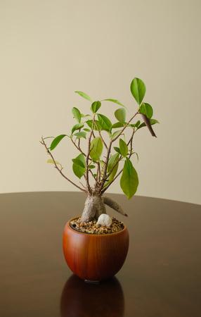 A small bonsai plant in a pot Foto de archivo - 102401925