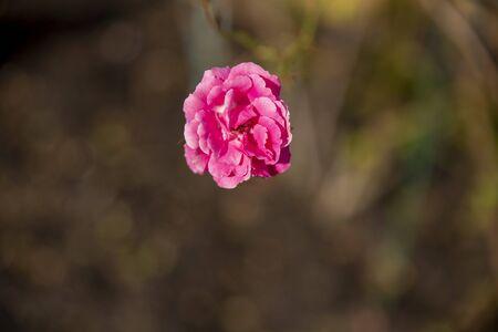 pink rose bush Archivio Fotografico