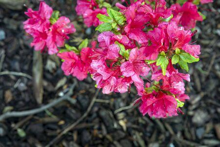 pink flowers in the garden Archivio Fotografico