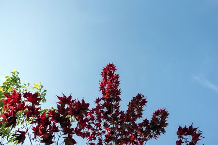 red maple leaves against blue sky Archivio Fotografico