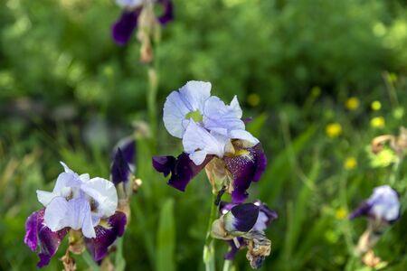 purple iris flower