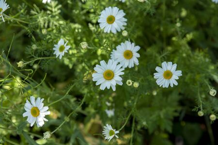 white daisies in the grass Stock Photo