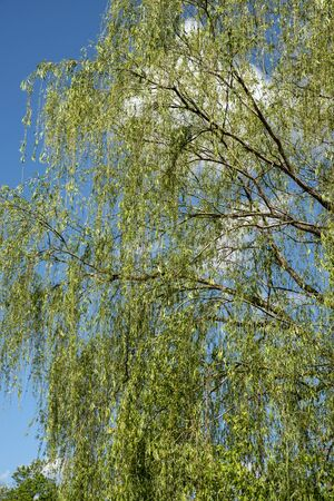 willow tree with blue sky as background Archivio Fotografico - 148011137