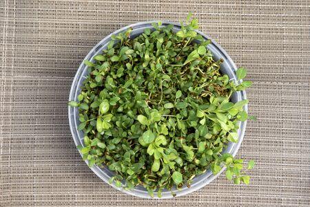 small fenugreek plants in bowl Stock Photo