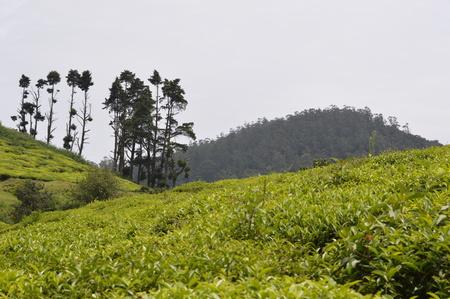 Tea estate, Ooty India Stock Photo