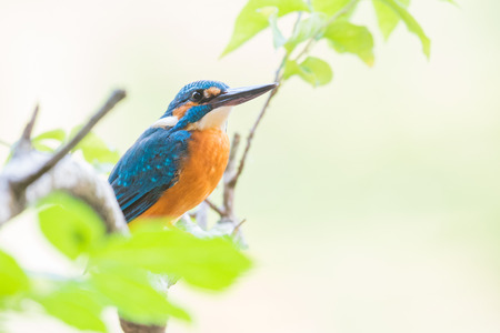 The common kingfisher Alcedo atthis on a branch in Goa, India at afternoon