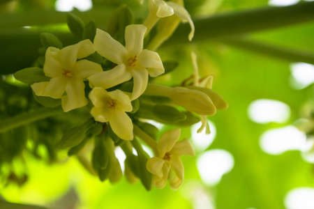 Papaya flowers white yellowish seeds fruit green leaf, Food plant background floral close up outdoors