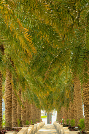 Date palm trees growing in a row and branches of date palms under blue sky.