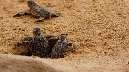 baby sea turtle hatching. One day old sea turtles in Hikkaduwa in the turtle farm.,Sri Lanka . Loggerhead baby sea turtle 免版税图像 - 135953457
