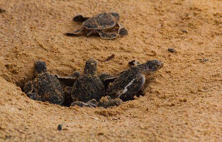 cría de tortugas marinas. Tortugas marinas de un día en Hikkaduwa en la granja de tortugas, Sri Lanka. Tortuga boba bebé Foto de archivo