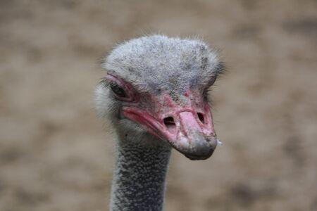 close up view of ostrichs head