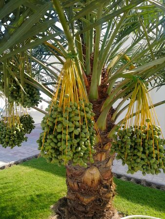 Green date palm fruits ready to harvest in Qatar, Arab,Middle East