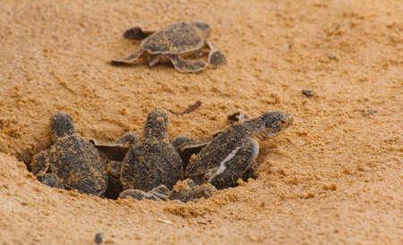 Loggerhead baby sea turtles hatching in a turtle farm in Sri Lanka, Hikkaduwa. Srilankan tourism