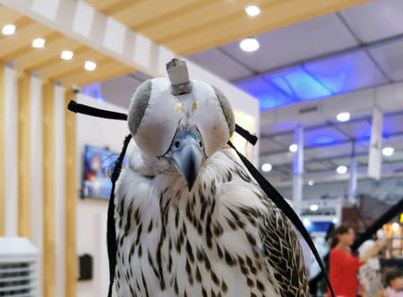 Background image of A falcon wearing its hood. falconry