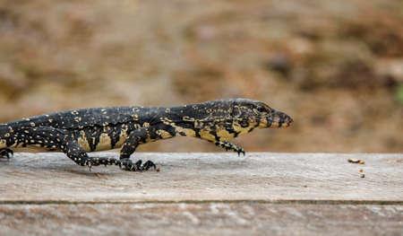 Asian baby water lizard on a wood platform near river in srilankan river. srilankan wild life