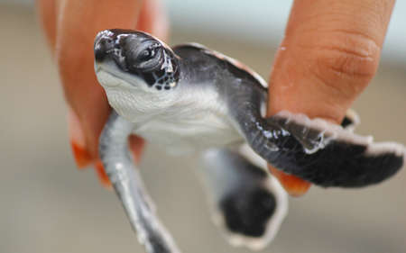 Newly hatched Loggerhead baby sea turtles hatching in a turtle farm in Sri Lanka, Hikkaduwa. Srilankan tourism