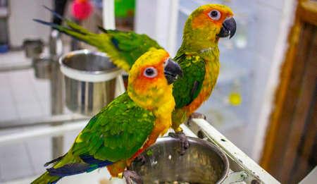 Baby sun conure parrot at a shop for sale.. Sun parakeet