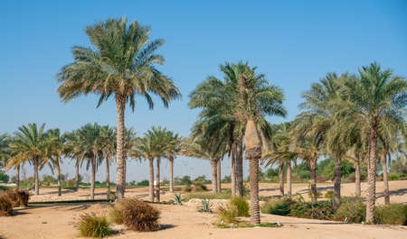 Panorama. Plantation of date palms. Image depicts advanced tropical agriculture in the arab countries Stock Photo