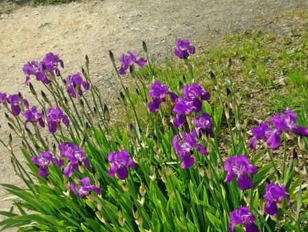 Spring Iris Garden