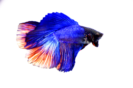 betta: Betta Fish Stock Photo