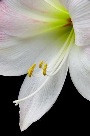 Closeup of beautiful amaryllis flower Stock Photo - 10370562