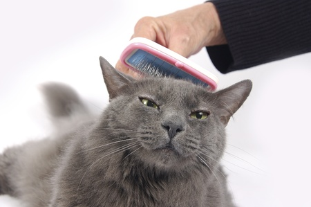 gray cat: Beautiful Russian blue cat loves being brushed Stock Photo